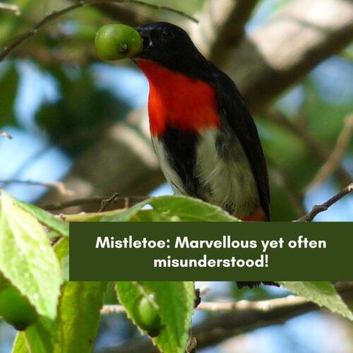 Woodland Birds School Program Feature – Mistletoe: Marvellous yet often misunderstood!