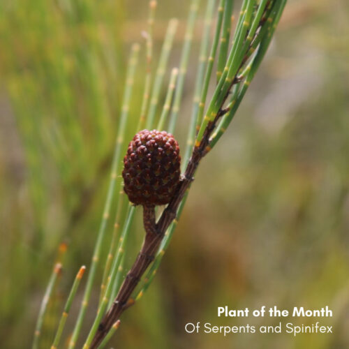 Plant of the Month – Of Serpents and Spinifex