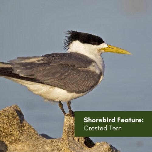 Shorebird Feature: Crested Tern