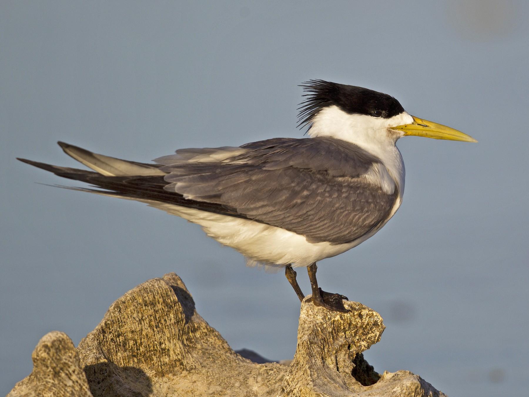 Crested Tern source eBird