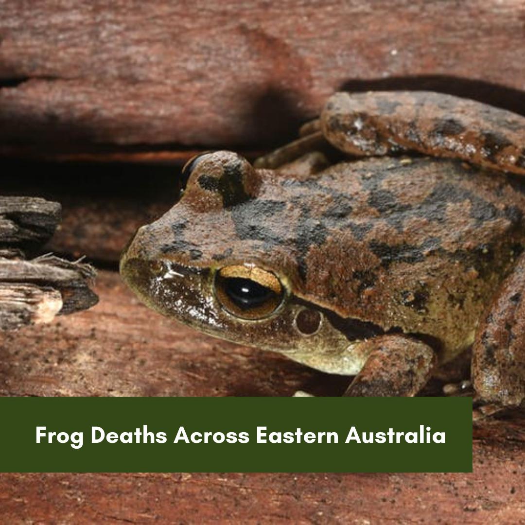 Frog deaths across eastern Australia HRLN