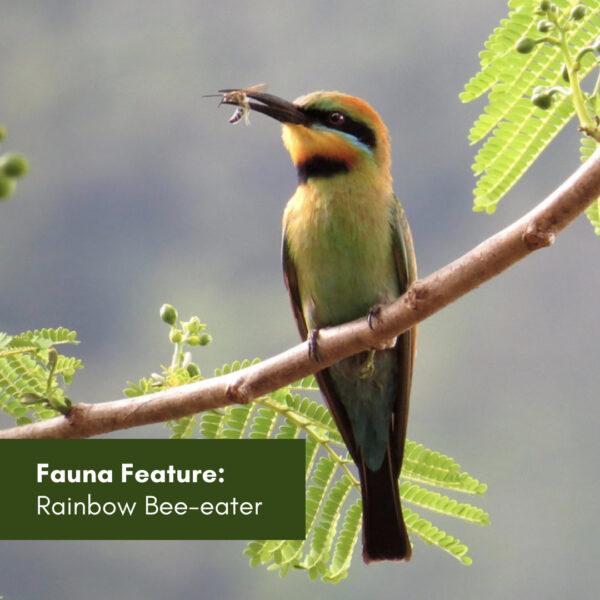 Fauna Feature: Rainbow Bee-eater