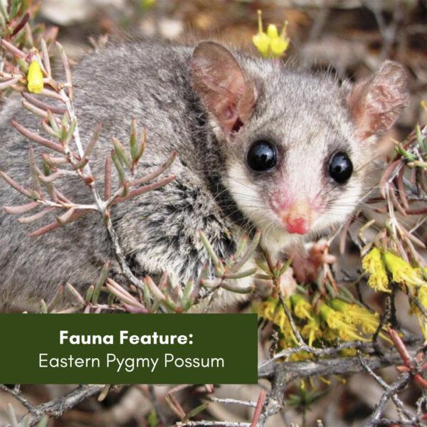 Fauna Feature – Eastern Pygmy Possum