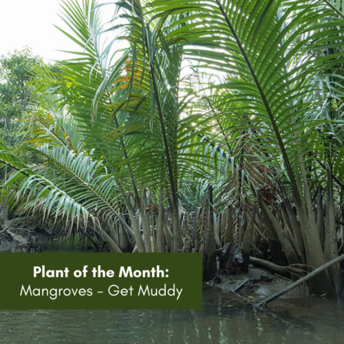 Plant of the Month: Mangroves – Getting Muddy