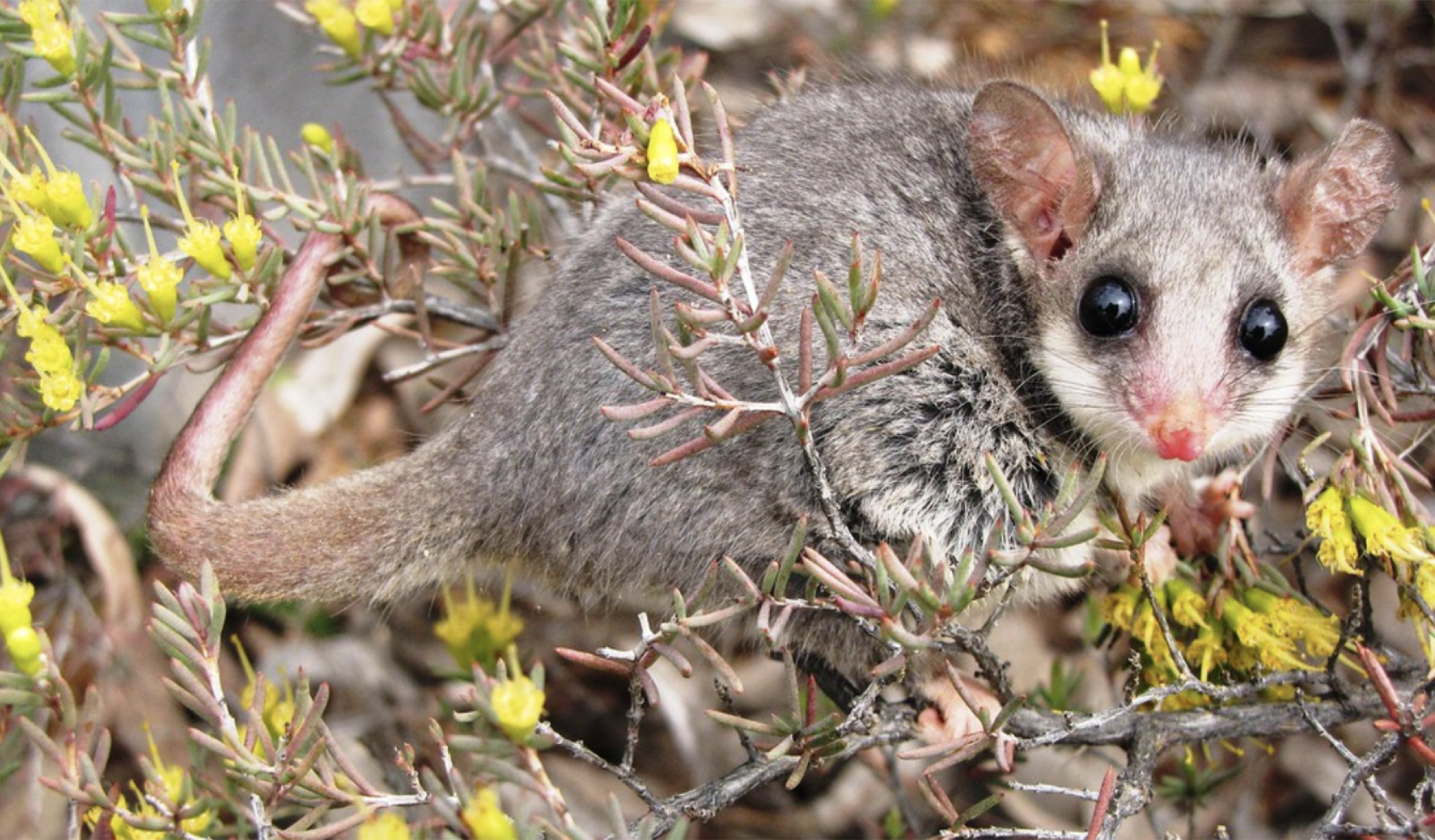 Pygmy-Possum-Landcare-2