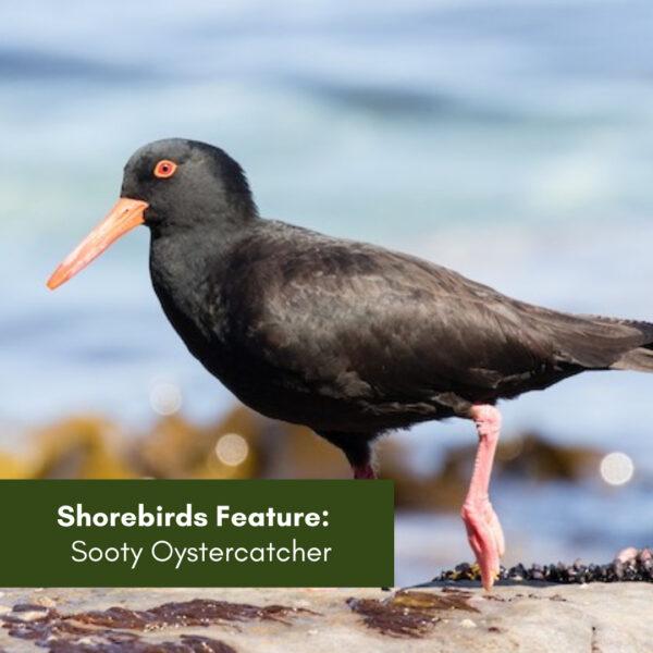Shorebirds feature:  Sooty Oystercatcher